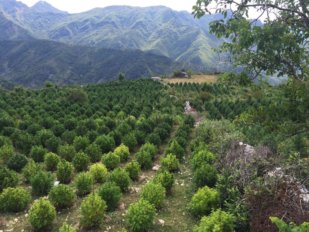 "Cannabis, politics and family links: ""who's who"" and the drug trafficking surge in Albania"